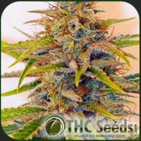 Jack Herrer by THC SEEDS