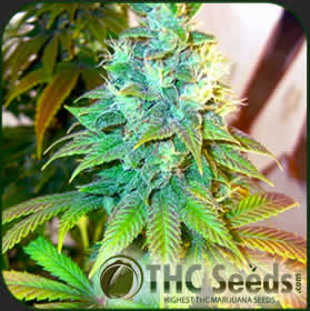 Kish by THC SEEDS