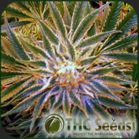 White Star by THC SEEDS